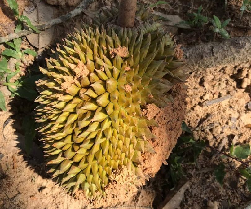Durian Farm Progress (May – July 2020)