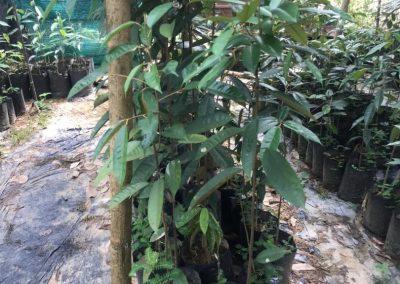 news okt 2020 - durian farm 14